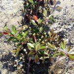 plantacion-seto-cdl-salceda-caselas